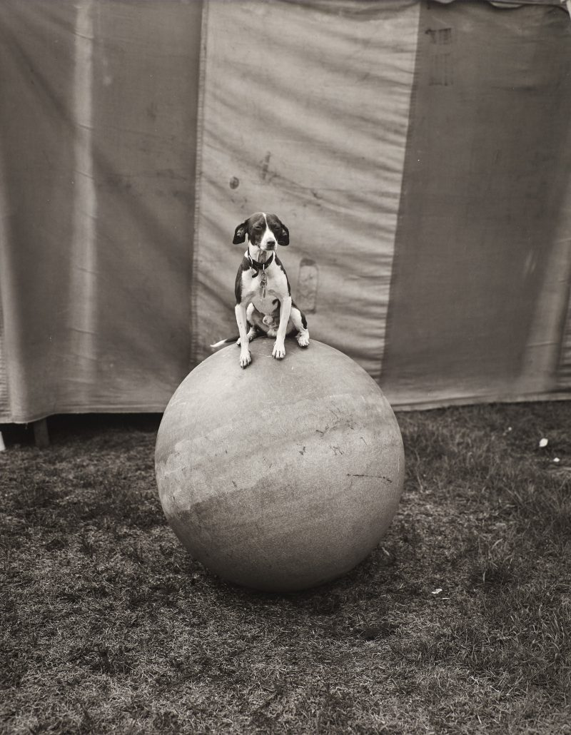 Randal Levenson (Miami, USA), In Search of the Monkey Girl, Morris the Dog. Vintage Print from Original Negative on Portriga Rapid 111 Double Weight Glossy Paper.