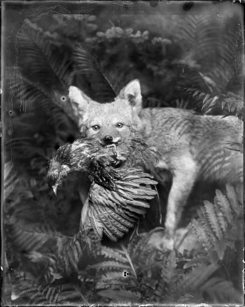 Whitney Lewis-Smith (Ottawa, Canada), Coyote & Pheasant, Photograph, Custom Print for Gallery opening, 4 x 5 feet, $2200.