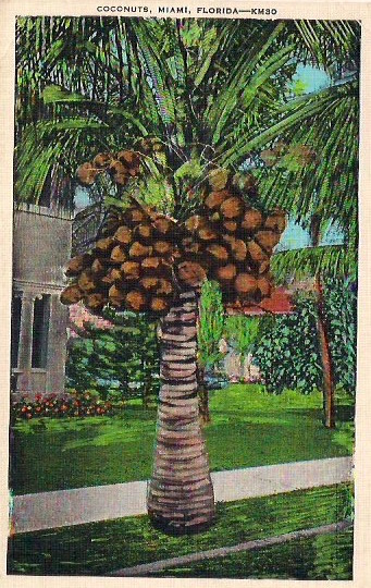 Vintage Postcard, 'Coconuts, Miami, Florida', 3.5 x 5.5 inches, No handwrting on verso, Made in USA, Great condition, $5.