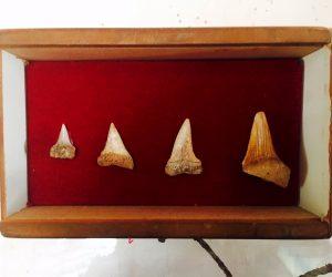 Vintage Shark Tooth Display