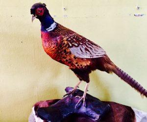 Ringneck Pheasant Taxidermy Bird